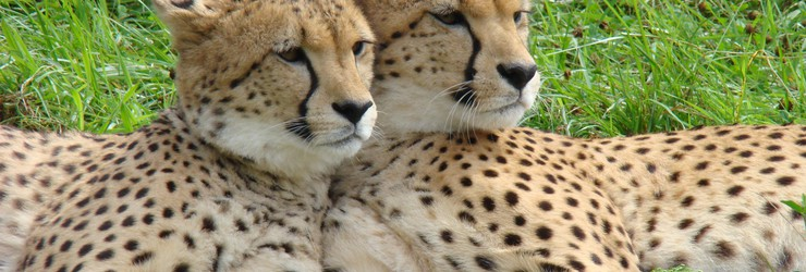 Cheetahs Zoo Parc Overloon